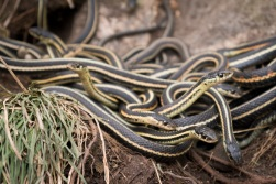 Fort Livingstone Snake Dens - active in mid-May
